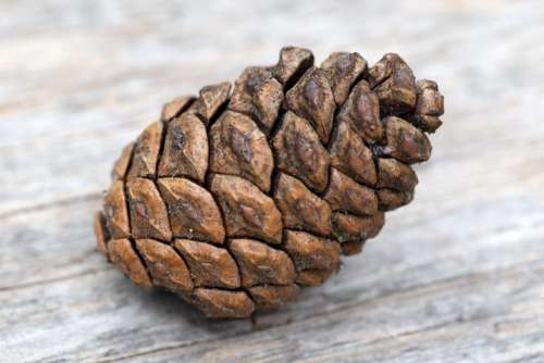 Pine Cone on Wood Free Photo