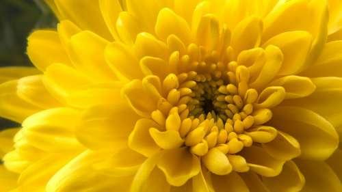 Macro Yellow Flower Free Photo
