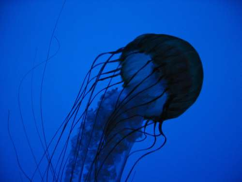 Jellyfish in Blue Water Free Photo