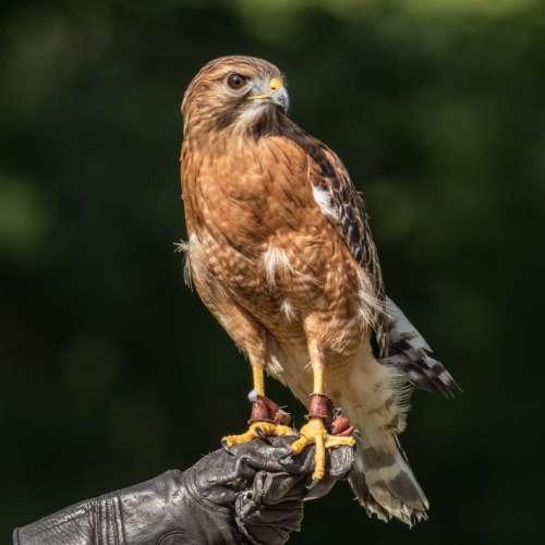 Hawk Perched on Glove Free Photo