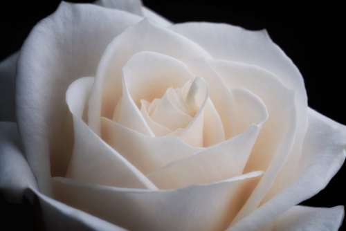 White Rose Close Up Free Photo