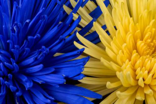 Blue and Yellow Flowers Free Photo