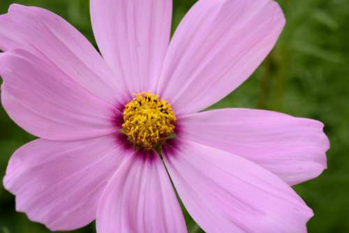 Pink Flower Close Up Free Photo
