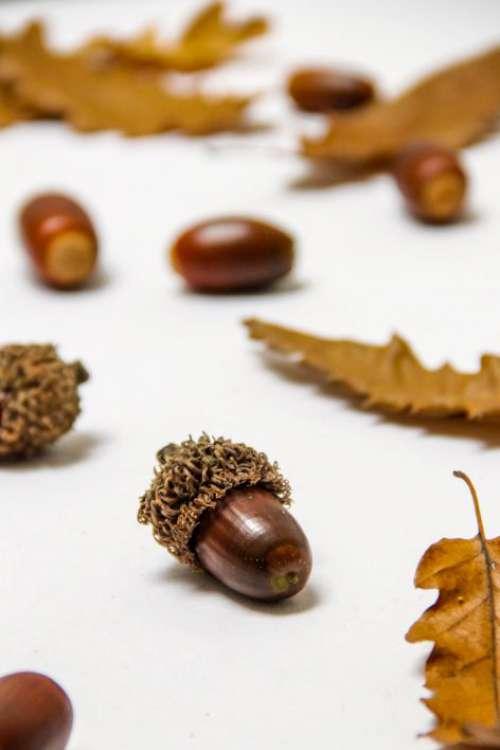 Acorn Leaves Free Photo