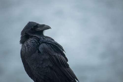 Raven Free Photo