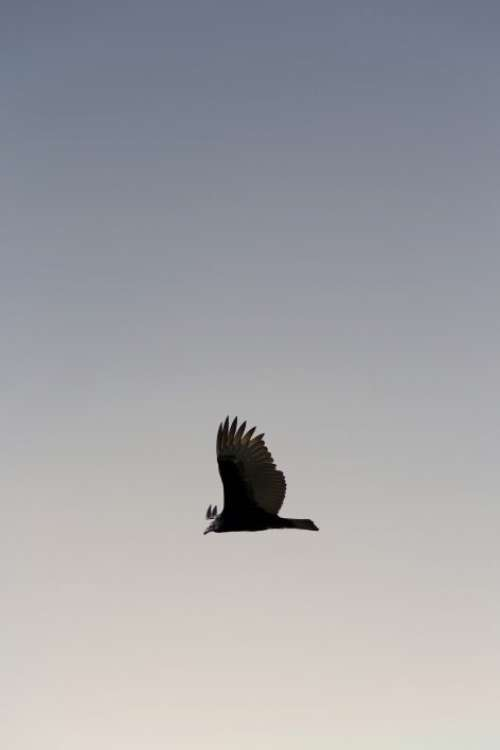 Flying Bird Free Photo