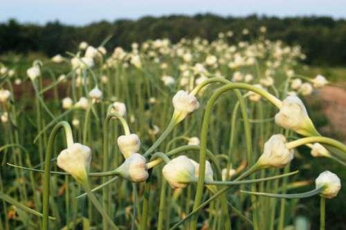 Garlic Flower Buds Free Photo