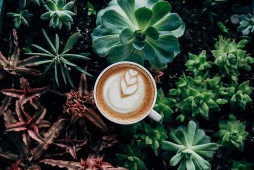 Cappuccino Pot Plant Free Photo