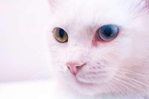 White Cat Colored Eyes Free Photo