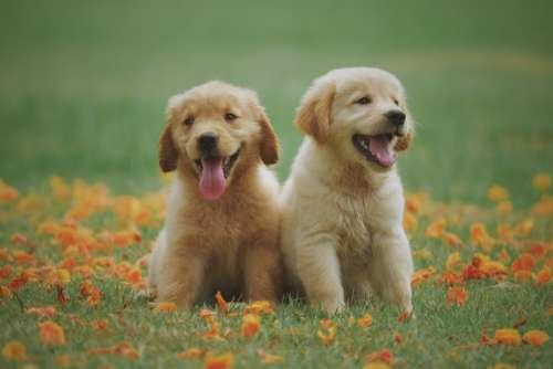 Golden Labrador Puppies Free Photo