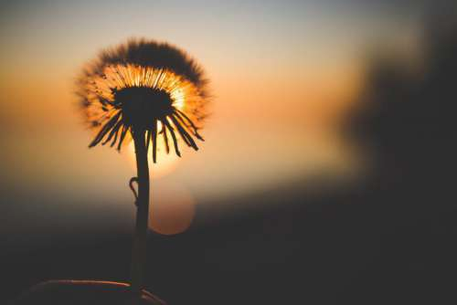 Silhouette of Dandelion Behind Sun Free Photo