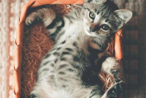 Small Kitten Lying Basket Free Photo