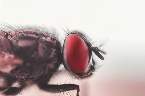 Insect Fly Red Eyes Macro Free Photo