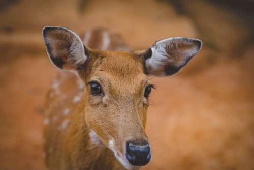 Young Cute Antelope Free Photo