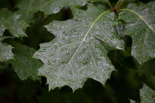 Wet Tree Leaves Free Photo