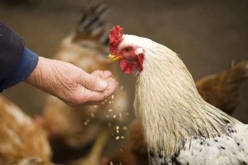 Chicken Man Seed Free Photo