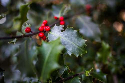 Seasonal Holly Plant Free Photo