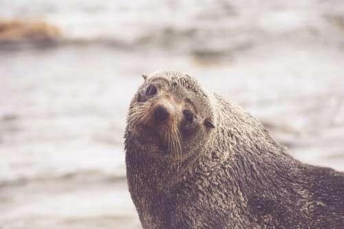 Sea Lion Seal Ocean Free Photo