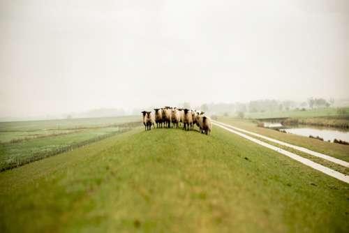 Sheep Farm Green Field Hill Free Photo