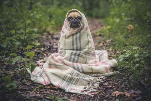 Pug Dog Wrapped Blanket Free Photo