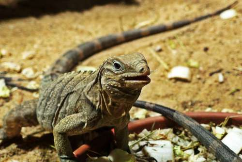 Cuban Rock Iguana Reptile Desert Free Photo