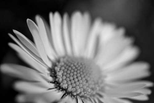 Flower Macro Sunflower Black White Free Photo