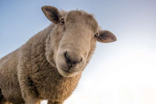 Curious Sheep Blue Sky Closeup Free Photo