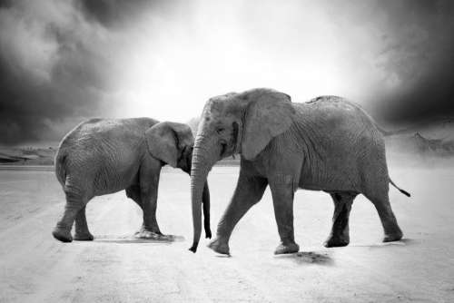 Grayscale Elephant Animals Africa Free Photo