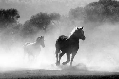 Running Horses Black White Free Photo