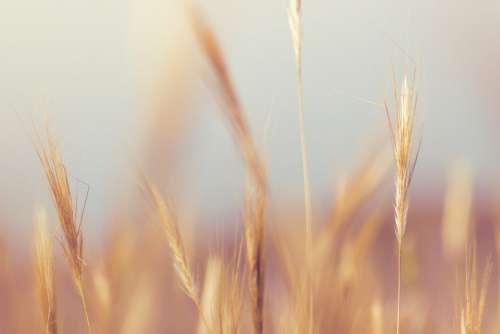 Wheat Crop Farmland Blur Free Photo