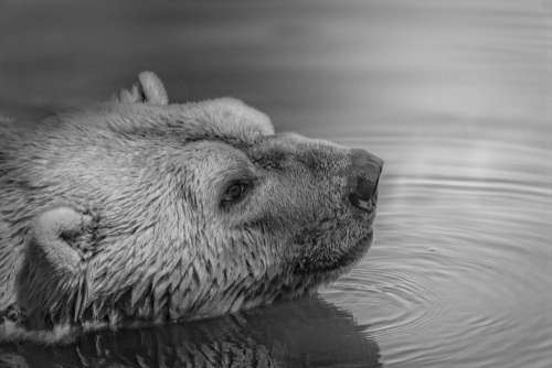 Black White Bear Swimming Free Photo