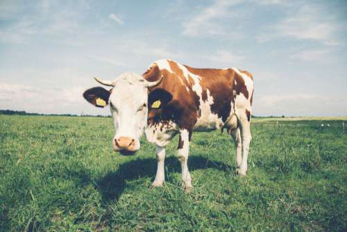 White and Brown Cow in Field Free Photo
