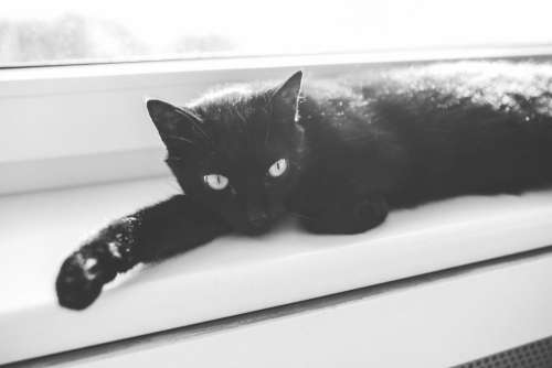 Black Cat in Black and White Free Photo