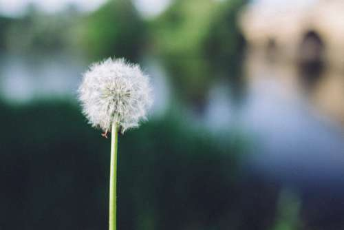 Dandelion in the Daytime Free Photo