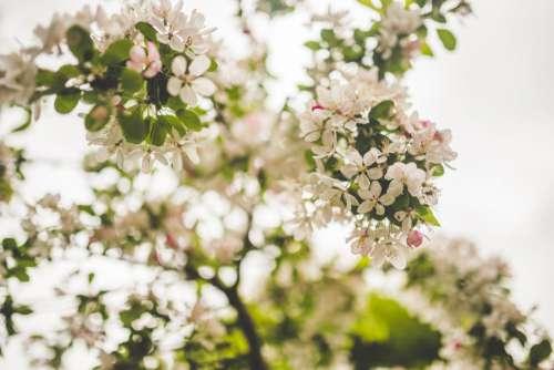 White Petal Flowers Free Photo