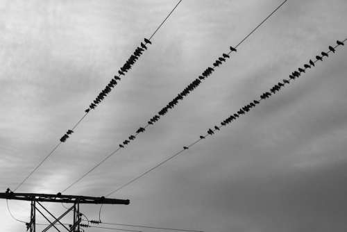 Birds on a Wire Free Photo