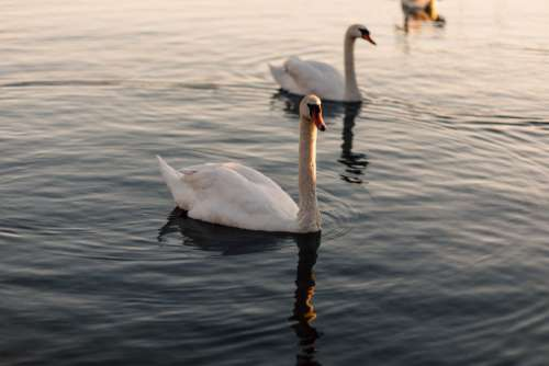 Swan Swimming River Free Photo