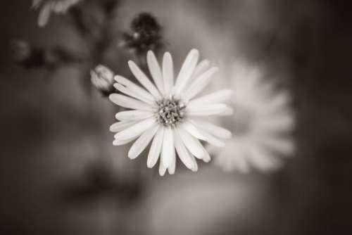 Black White Flower Free Photo
