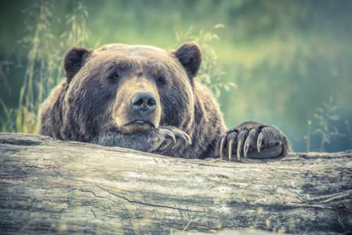 Tired Large Bear Forest Log Free Photo