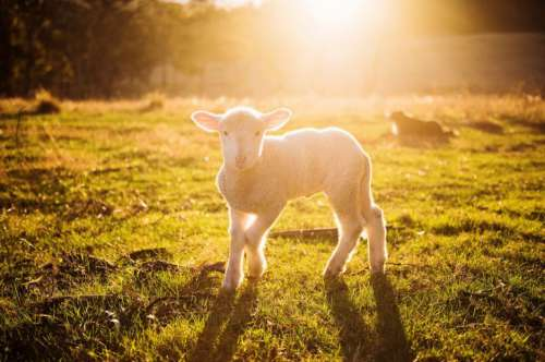 Lamb Spring Sunrise Free Photo