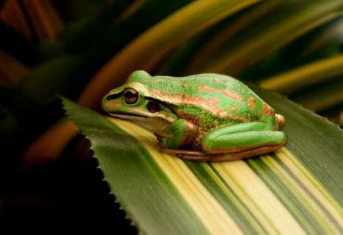 Frog on Leaf Free Photo