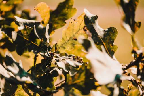 Oak Leaves Free Photo