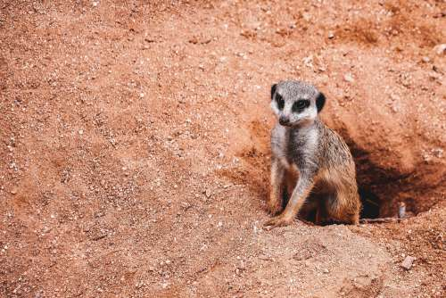Meerkat with Place for Text Free Photo