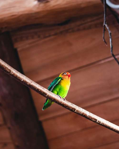 Parrot Agapornis Fischeri Free Photo