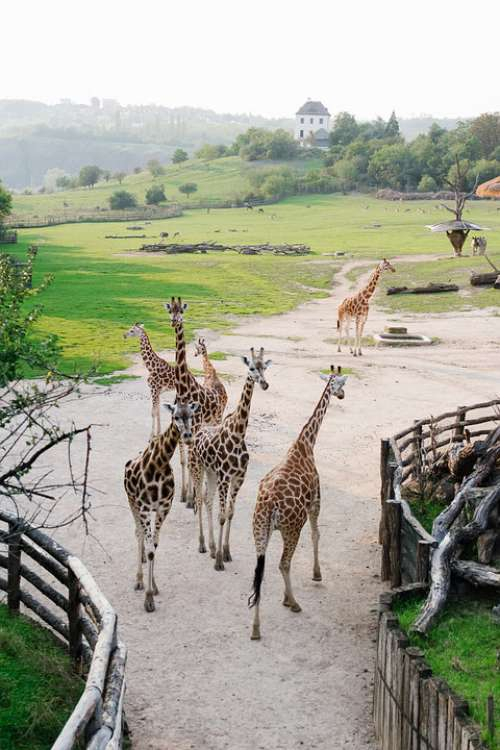 Prague Zoo Giraffe Animals Nature Beautiful Czech