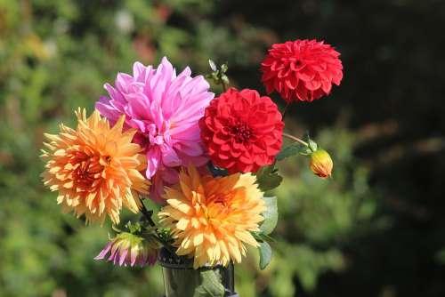 Dahlias Flowers Flora Plant Garden Nature