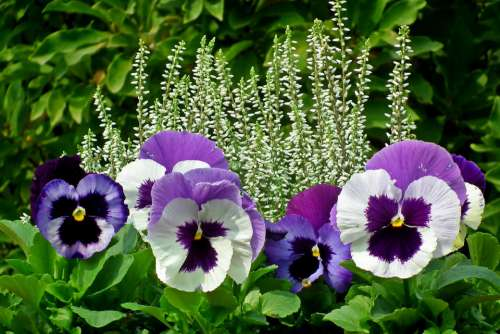 Pansies Heathers Flowers Colorful Nature Garden