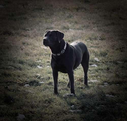 Labrador Dog Pet Portrait Race Doggy Style