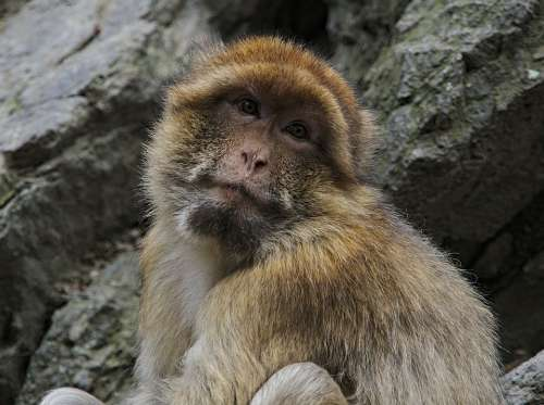 Macaque Monkey Animal Primate Eyes Fur Face
