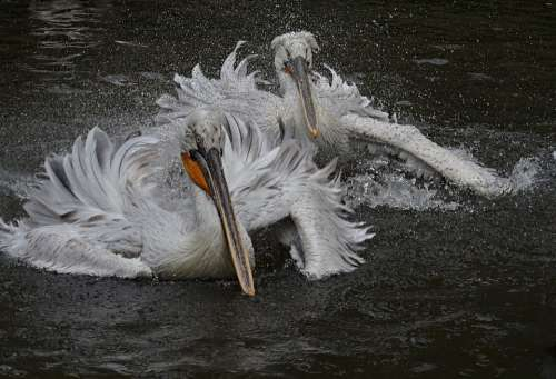 Pelican Bird Feather Animal Water White Wing